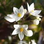 Jasminbluetiger Nachtschatten Bluete weiss Solanum jasminoides 03