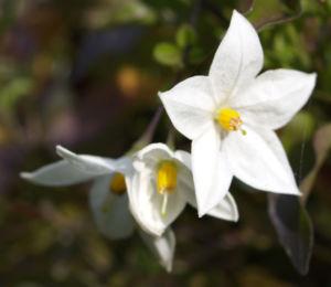 Jasminbluetiger Nachtschatten Bluete weiss Solanum jasminoides 04