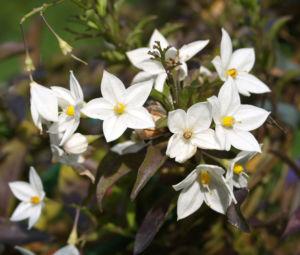 Jasminbluetiger Nachtschatten Bluete weiss Solanum jasminoides 05