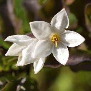 Jasminbluetiger Nachtschatten Bluete weiss Solanum jasminoides 08