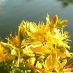 Johanniskraut Bluete gelb Hypericum perforatum 03