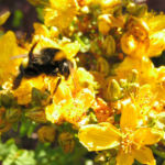 Bild:  Johanniskraut Blüte gelb Hypericum perforatum