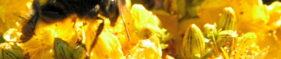 Anklicken um das ganze Bild zu sehen Johanniskraut Blüte gelb Hypericum perforatum