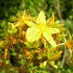 Johanniskraut Bluete gelb Hypericum perforatum 05