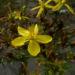 Zurück zum kompletten Bilderset Gewöhnliches Johanniskraut Blüte gelb Hypericum perforatum