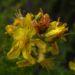 Zurück zum kompletten Bilderset Johanniskraut Tüpfel Hartheu Blüte gelb Hypericum perforatum
