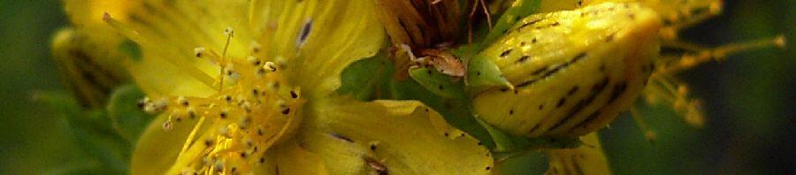 Anklicken um das ganze Bild zu sehen Johanniskraut Tüpfel Hartheu Blüte gelb Hypericum perforatum