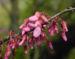 Zurück zum kompletten Bilderset Judasbaum Blüte pink Cercis siliquastrum