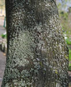 Judasbaum Rinde grau braun Cercis siliquastrum 11