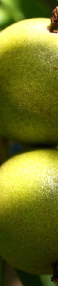 Anklicken um das ganze Bild zu sehen Kleinfrüchtige Walnuss Baum grün braun Juglans microcarpa