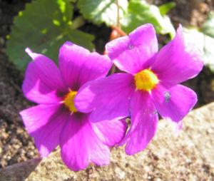 Julias Schluesselblume Bluete pink Primula juliae 01