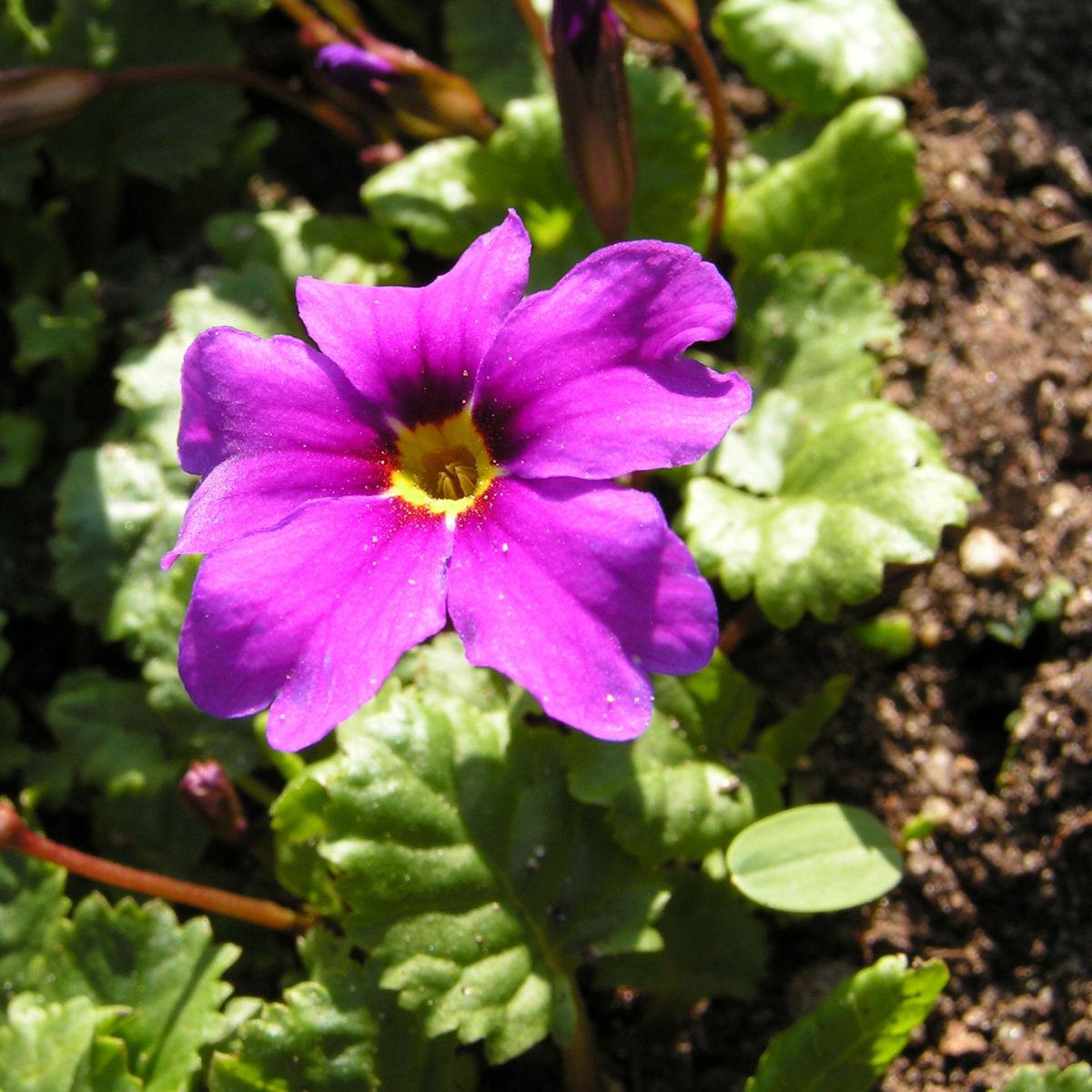 Julias Schluesselblume Bluete pink Primula juliae