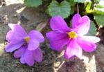 Julias Schluesselblume Bluete pink Primula juliae 03