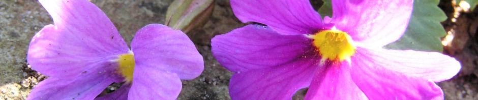 Anklicken um das ganze Bild zu sehen Julias Schlüsselblume Blüte pink Primula juliae