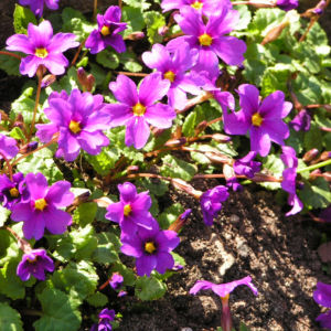 Julias Schluesselblume Bluete pink Primula juliae 04