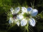Jungfer im Gruen Bluete weiss blau Nigella damascena 06