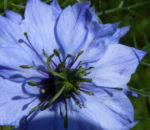 Jungfer im Gruenen Bluete hellblau Nigella damascena 06