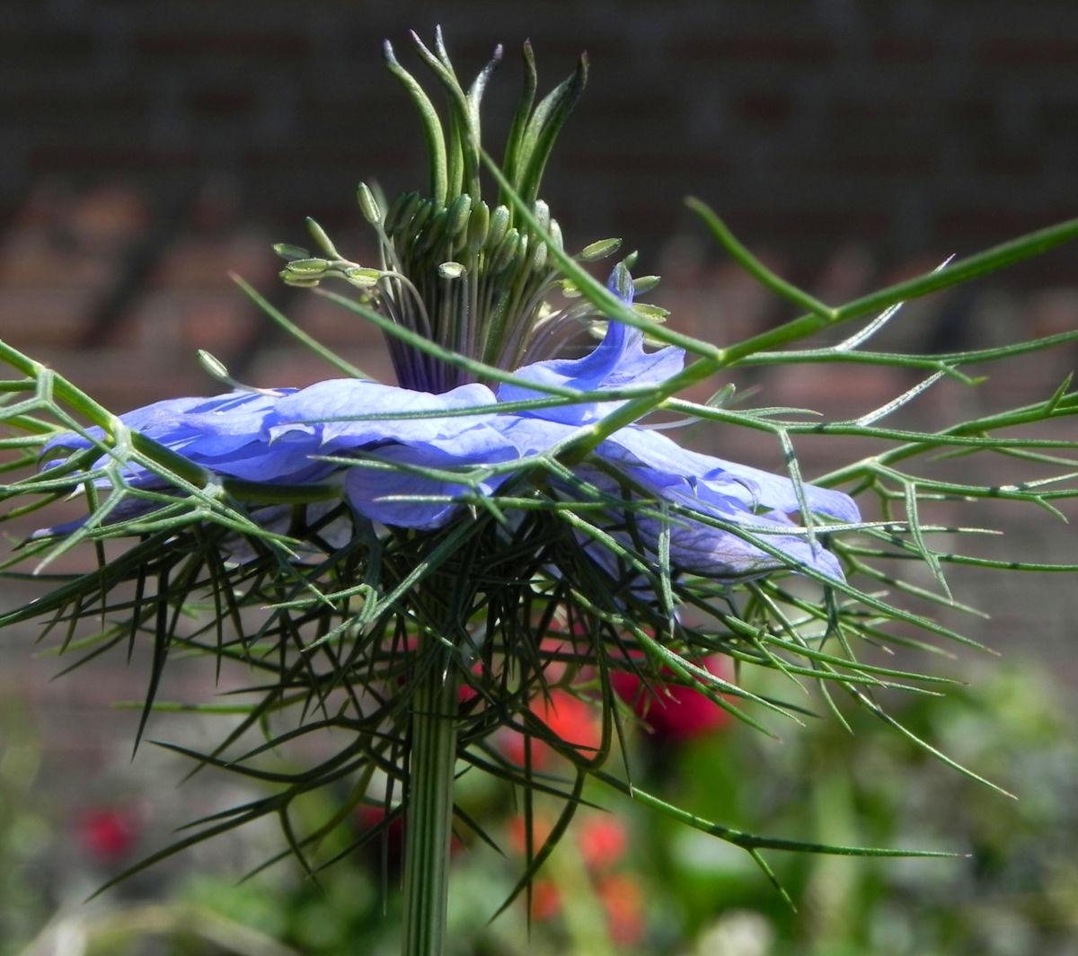 Jungfer im Gruenen Bluete hellblau Nigella damascena