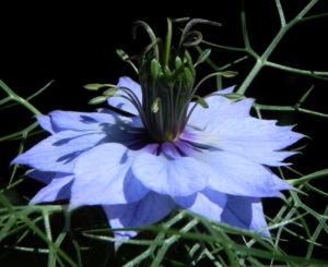 Jungfer im Gruenen Bluete hellblau Nigella damascena 14