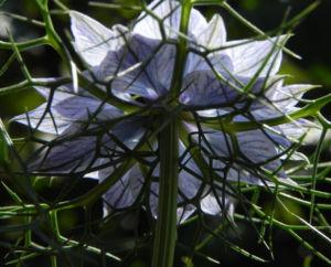 Jungfer im Gruenen Bluete hellblau Nigella damascena 15