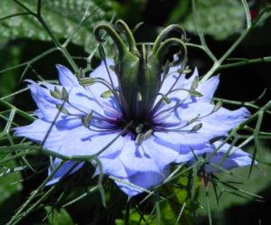 Jungfer im Gruenen Bluete hellblau Nigella damascena 16