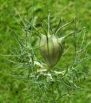 Jungfer im Gruenen Knospe gruen Nigella damascena 05