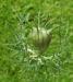 Zurück zum kompletten Bilderset Jungfer im Grünen Blüte hellblau Nigella damascena