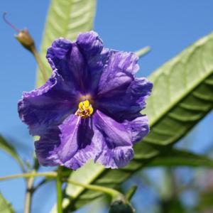 Kaenguruapfel Bluete blau Solanum aviculare 01