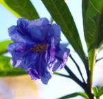 Kaenguruapfel Bluete blau Solanum aviculare 04