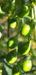Zurück zum kompletten Bilderset Känguruapfel Blüte blau Frucht grün Solanum aviculare