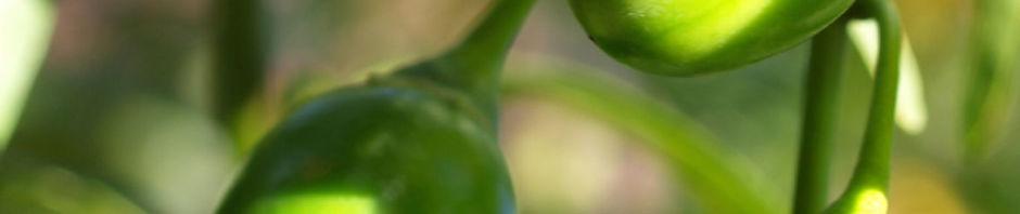 kaenguruapfel-bluete-blau-frucht-gruen-solanum-aviculare