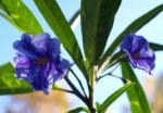 Kaenguruapfel Bluete blau Solanum aviculare 06