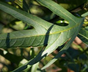 Kaenguruapfel Bluete blau Solanum aviculare 07