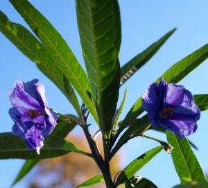Kaenguruapfel Bluete blau Solanum aviculare 08