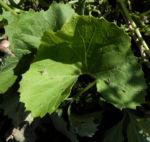 Kahler Alpendost Blatt gruen Adenostyles alpina 24