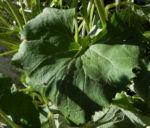 Kahler Alpendost Blatt gruen Adenostyles alpina 25