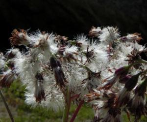 Kahler Alpendost Samen weiss Adenostyles alpina 26
