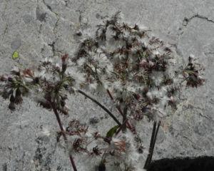 Kahler Alpendost Samen weiss Adenostyles alpina 27