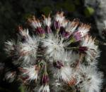 Kahler Alpendost Samen weiss Adenostyles alpina 28