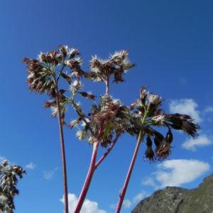 Kahler Alpendost Samen weiss Adenostyles alpina 32