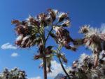 Kahler Alpendost Samen weiss Adenostyles alpina 33