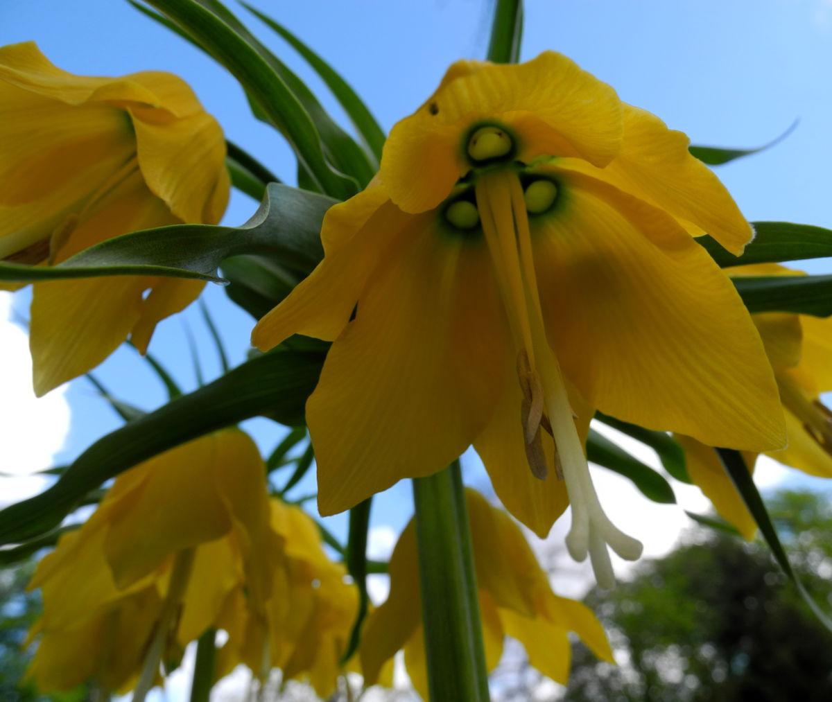 Kaiserkrone Bluete gelb Fritillaria imperialis