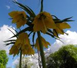 Kaiserkrone Bluete gelb Fritillaria imperialis 08