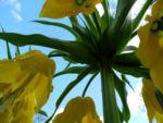 Kaiserkrone Bluete gelb Fritillaria imperialis 10
