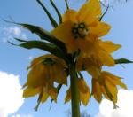 Kaiserkrone Bluete gelb Fritillaria imperialis 11