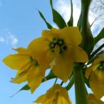Bild: Kaiserkrone Blüte gelb Fritillaria imperialis