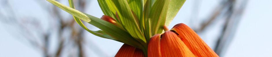 Anklicken um das ganze Bild zu sehen Kaiserkrone Blütendolden orange Fritillaria imperialis