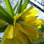 Kaiserkrone gelbe Bluete Fritillaria imperialis 05