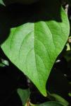Kakibaum Blatt gruen Diospyros kaki 02