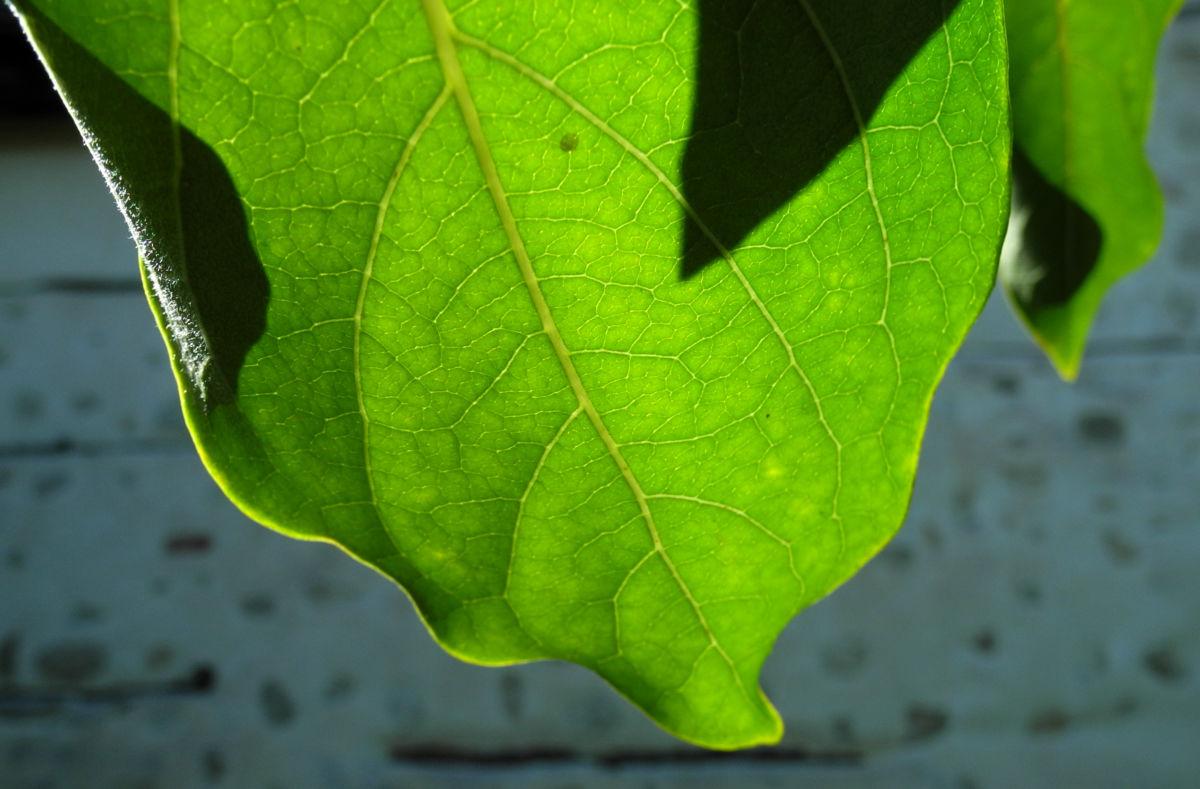 Kakibaum Blatt gruen Diospyros kaki